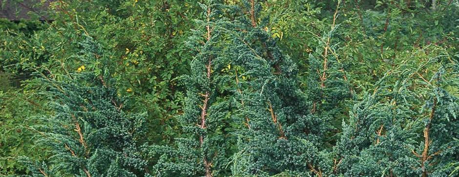 Stedsegrønne træer og buske