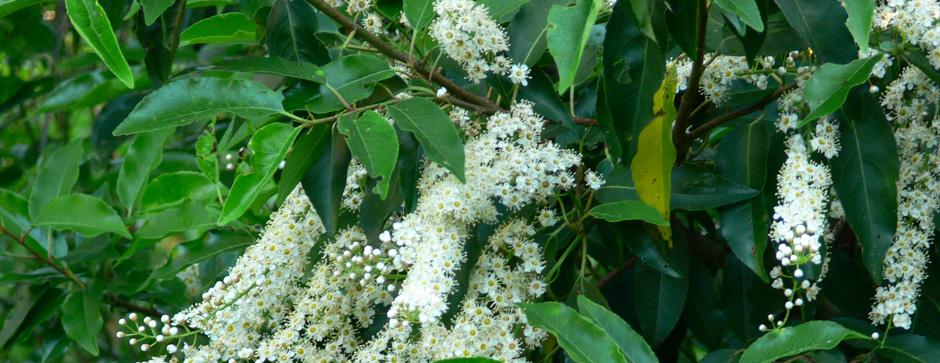 Stedsegrønne bladbuske