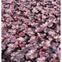 Alunrod (Heuchera hybr. 'Obsidian'® ) - Staude i 1 liter potte