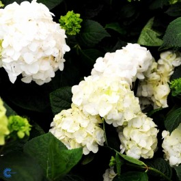 Have-hortensia (Hydrangea) 'Endless Summer The Bridet' (Hydrangea) - Buske i 5 liters potte