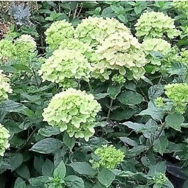 Havehortensia 'Little Lime' (Hydrangea 'Little Lime') Buske i 5 liters potte