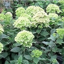 Havehortensia 'Little Lime' (Hydrangea 'Little Lime') Buske i 5 liters potte