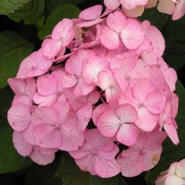 Havehortensia 'Preziosa' (Hydrangea ser. 'Preziosa') - Buske i 5 liter potte