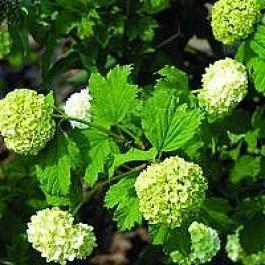 Almindelig snebolle (Viburnum opulus 'Roseum') - Buske i 5 liters potte