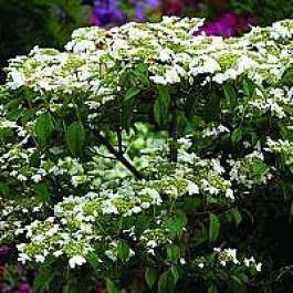 Japansk Snebolle Viburnum Plicatum Watanabe Buske I 5