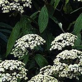 Rynkeblad (Viburnum rhytidophyllum) - Busk i potte 40-50 cm