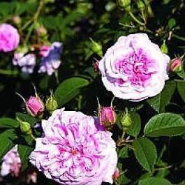 Albarose (Rosa 'Dronningen Af Danmark') - Historisk/sjælden sort i 4 l potte