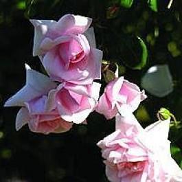 Slyngrose (Rosa 'New Dawn') - Slyngrose i 4 l potte