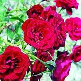 Bunddækkende rose (Rosa 'Velvet Cover') - i 4 l potte