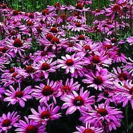 purpursolhat echinacea purpurea 39 magnus 39 staude i 1 lite. Black Bedroom Furniture Sets. Home Design Ideas