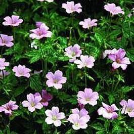 Storkenæb (Geranium endresii 'Rose Clair') - Staude i 10 x 10 cm potte