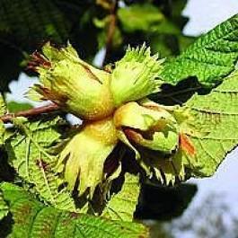 Hassel 'Cosford' (Corylus avellena 'Cosford') - Buske i 10 liters potte