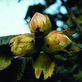 Hassel 'Halleske Kæmpe' (Corylus avellena 'Halleske Kæmpe') - Buske i 10 liters potte