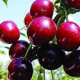 Kirsebær 'Skyggemorel' (Prunus cerasus 'Skyggemorel') - SHC 2 år