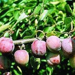 Blomme 'Opal' (Prunus domestica 'Opal') - 3 års træ i potte 150-200 cm