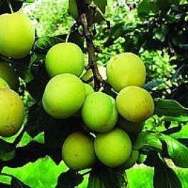 Blomme 'Ouillins Reine Claude' (Prunus domestica 'reine cl. d'Ouillins') - 3 års træ i potte 150-200 cm