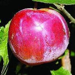 Blomme 'Althans Reine Claude' (Prunus domestica 'reine claude d'Althan') - 3 års træ i potte 150-200 cm