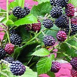 Brombær 'Thornfree' (Rubus fruticosus 'Thornfree') - Buske i 2 liters potte