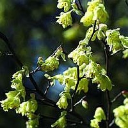 Hasselbror (Corylopsis pauciflora) - Co buske