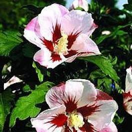Syrisk rose (Hibiscus syriacus 'Hamabo') - Buske i 5 liters potte