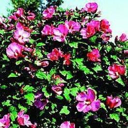 Syrisk rose (Hibiscus syriacus 'Woodbridge') - Buske i 5 liters potte