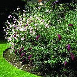Mammelukærme (Lavatera 'Barnsley') - Co buske