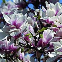 Almindelig magnolia (Magnolia soulangeana) - Buske i potte 60-80