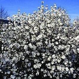 Stjerne-magnolia (Magnolia stellata 'Royal Star') - Buske i potte 80-100 cm