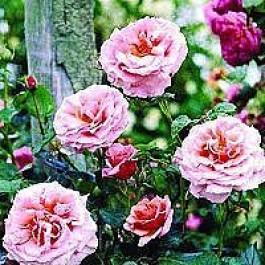 Slyngrose (Rosa 'Aloha') - Slyngrose i 4 l potte