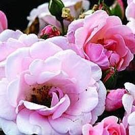 Buketrose (Rosa 'Astrid Lindgren' ®) - Buketrose i 4 l potte