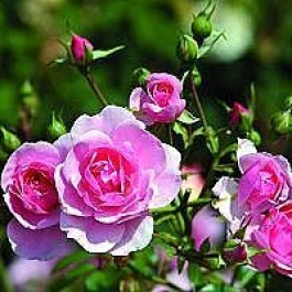 Buketrose (Rosa 'Bonica 82' ®) - A-kval. Barrodet - Sælges kun i bundter á 5 stk