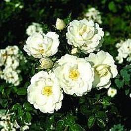 Bunddækkende rose (Rosa 'Diamond Border') - Towne- & Countryrose i 4 l potte
