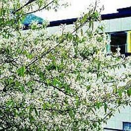 Almindelig bærmispel (Amelanchier canadensis) - Buske i 5 liters potte