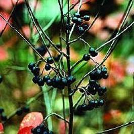 Storbladet surbær (Aronia melanocarpa 'Aron') - Buske i 5 liters potte