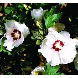 Syrisk rose (Hibiscus syriacus 'Red Heart') - Buske i 5 liters potte