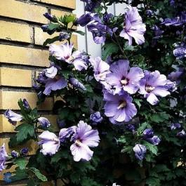Syrisk rose (Hibiscus syriacus 'Blue Bird') - Buske i 5 liters potte