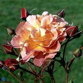 Slyngrose (Rosa 'Westerland') - Slyngrose i 4 l potte