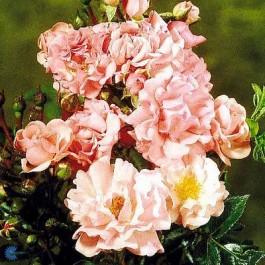 Slyngrose (Rosa 'Rosenholm' ® Poulover (N)) - I 4 l potte.