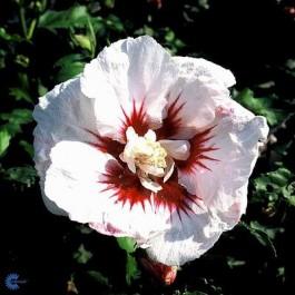 Syrisk rose (Hibiscus syriacus 'Helene') - Buske i 5 liters potte