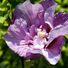Syrisk rose (Hibiscus syriacus 'Lavender Chiffon') - Buske i 5 liters potte