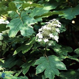 Egebladet hortensia (Hydrangea quercifolia) - Buske i 5 liters potte