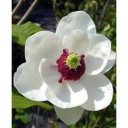Åkandetræ (Magnolia sieboldii) Co 60-80