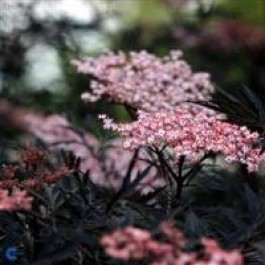 Rødbladet hyld `(Sambucus nigra 'Black Lace')  - Buske i 5 liters potte
