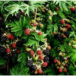 Brombær 'Thornless Evergreen' (Rubus fruticosus 'Thornless Evergreen') - Buske i 2 liters potte