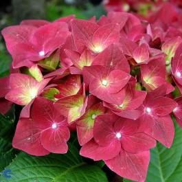 Almindelig Hortensia (Hydrangea Macrophylla 'Bouquet Rose') - C 3,5 buske