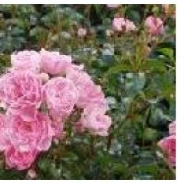 TILBUD Fairyrose (Rosa 'The Fairy') - Barrodsrose A-kvalitet - Bundt med 5 stk.