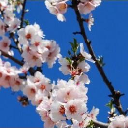 Sød mandel 'Ferragnes' (C5 buske, Prunus dulcis 'Ferragnes')