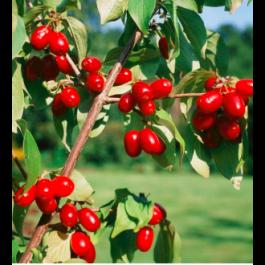 Kirsebærkornel - mangefrugtet (CORNUS mas 'JOLICO') - Busk i 5 liters potte