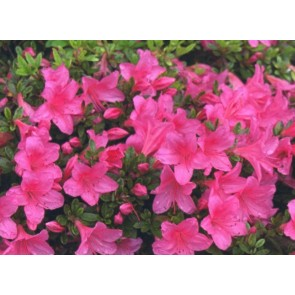 'Wombat'   (Rhododendron 'Wombat' )    CO 20 - 25