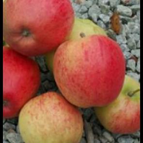Æble 'Ahrista', middelvoksende - 3 års træ i potte 150-200 cm